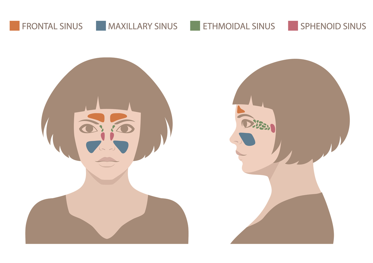vector nose illustration, sinus anatomy, human respiratory system
